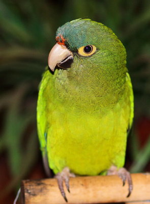 Oranged fronted Conure