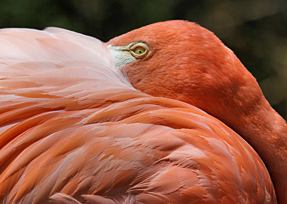 Wary Eye of a Flamingo